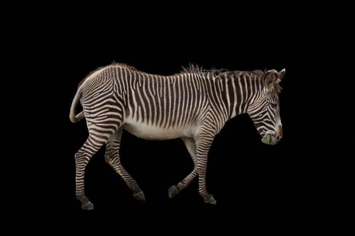 zebra-still-1024wide